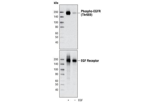 Polyclonal Antibody - Phospho-EGF Receptor (Thr669) Antibody, UniProt ID P00533, Entrez ID 1956 #3056 - Rtk
