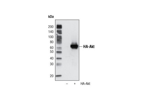 Monoclonal Antibody - HA-Tag (6E2) Mouse mAb (HRP Conjugate) - 100 µl #2999 - Related Products