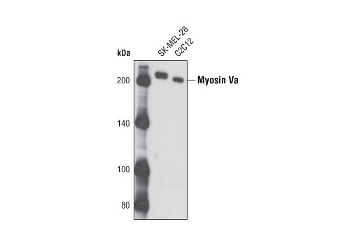 Western blot analysis of extracts from SK-MEL-28 and C2C12 cells using Myosin Va Antibody.