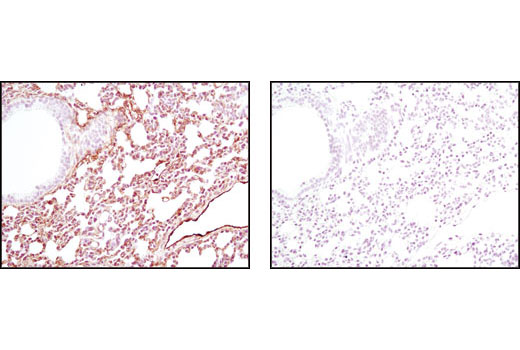 Immunohistochemical analysis of paraffin-embedded mouse lung using Caveolin-1 (D46G3) XP<sup>®</sup> Rabbit mAb in the presence of control peptide (left) or antigen-specific peptide (right).