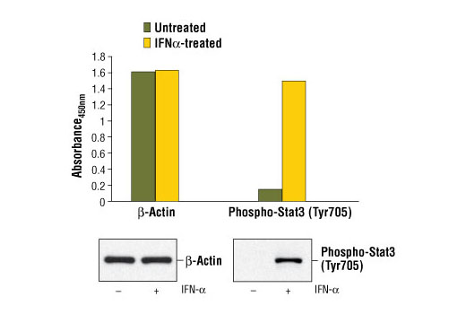 Figure 1. Treatment of HeLa cells with IFN-α stimulates phosphorylation of Stat3 at Tyr705 as detected by PathScan<sup>®</sup> Phospho-Stat3 (Tyr705) Sandwich ELISA Kit #7300, but does not affect the level of β-actin as detected by PathScan<sup>®</sup> Total β-Actin Sandwich ELISA Kit #7880. HeLa cells were treated with 100 ng/ml IFN-α for ten minutes at 37ºC before lysis. Absorbance at 450 nm is shown in the top figure, while the corresponding western blots using Phospho-Stat3 (Tyr705) (3E2) Mouse mAb #9138 (right panel) or Total β-Actin (13E5) Rabbit mAb #4970 (left panel) are shown in the bottom figure.