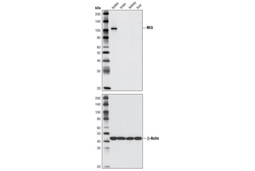 Western blot analysis of extracts from various mouse tissues using Mili Antibody (upper panel) or β-Actin Antibody (#4967) (lower panel).