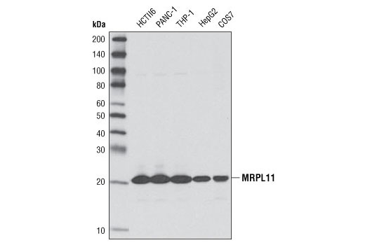 Western blot analysis of extracts from various cell types using MRPL11 (D68F2) XP<sup>®</sup> Rabbit mAb.