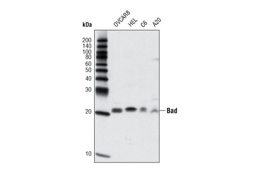 Western blot analysis of extracts from various cell lines using Bad (D24A9) Rabbit mAb.