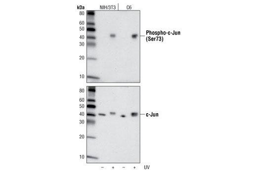 Western blot analysis of extracts from NIH/3T3 or C6 cells, untreated or UV-treated, using Phospho-c-Jun (Ser73) (D47G9) XP<sup>®</sup> Rabbit mAb (upper) or c-Jun (60A8) Rabbit mAb #9165 (lower).