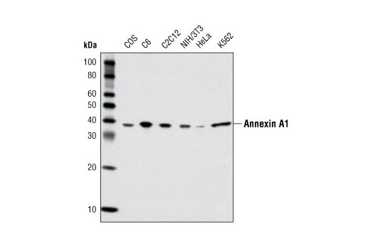 Western blot analysis of extracts from various cell lines using Annexin A1 Antibody.