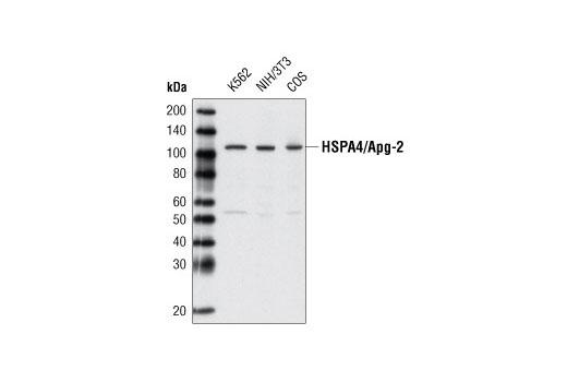 Polyclonal Antibody - HSPA4/Apg-2 Antibody - Western Blotting, UniProt ID P34932, Entrez ID 3308 #3303 - Protein Folding and Trafficking