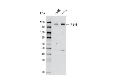 Western blot analysis of H-4-II-E and HeLa cells using IRS-2 (L1326) Antibody.