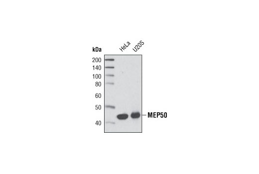 Monoclonal Antibody - MEP50 (D56B8) Rabbit mAb - Immunoprecipitation, Western Blotting, UniProt ID Q9BQA1, Entrez ID 79084 #2018, Chromatin Regulation / Acetylation