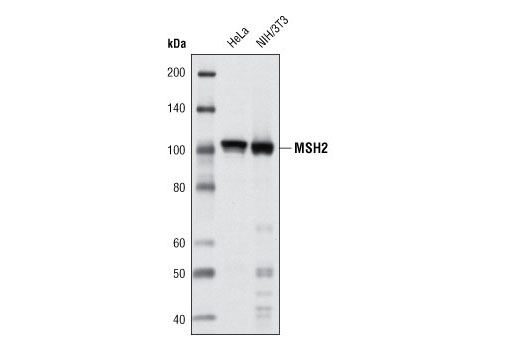 Western blot analysis of extracts of HeLa and NIH/3T3 cells using MSH2 (D24B5) XP<sup>®</sup> Rabbit mAb.