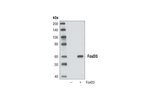 Western blot analysis of extracts from HeLa cells, untransfected or transfected with FoxD3, using FoxD3 (D20A9) Rabbit mAb.