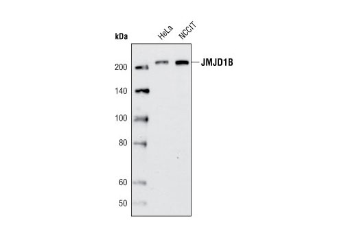 Monoclonal Antibody - JMJD1B (C6D12) Rabbit mAb, UniProt ID Q7LBC6, Entrez ID 51780 #3100, Chromatin Regulation / Acetylation