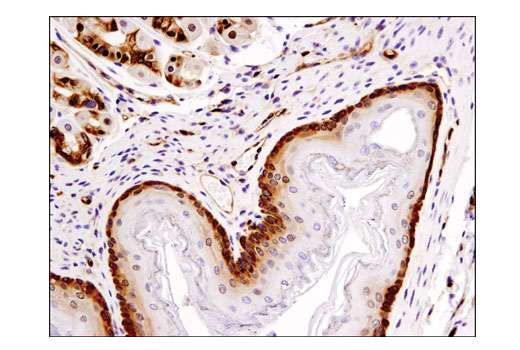 Immunohistochemical analysis of paraffin-embedded mouse forestomach using PDCD4 (D29C6) XP<sup>®</sup> Rabbit mAb.