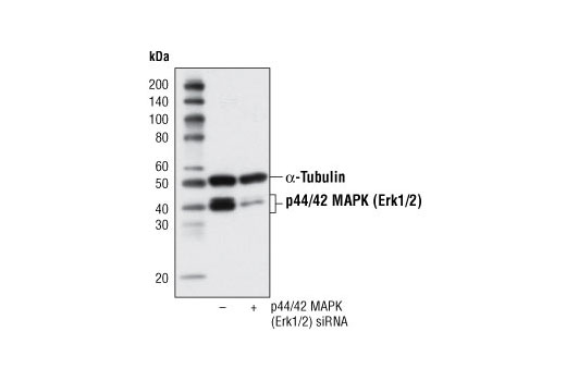 Western blot analysis of extracts from Hek 293 cells, transfected with 100 nM SignalSilence<sup>®</sup> Control siRNA (Fluorescein Conjugate) #6201 (-) or SignalSilence<sup>®</sup> p44/42 MAPK (Erk1/2) siRNA (+), using p44/42 MAPK (Erk1/2) (137F5) Rabbit mAb #4695 and α-Tubulin (11H10) Rabbit mAb #2125. The p44/42 MAPK (Erk1/2) (137F5) Rabbit mAb confirms silencing of p44/42 expression and α-Tubulin (11H10) Rabbit mAb is used to control for loading and specificity of p44/42 MAPK (Erk1/2) siRNA.