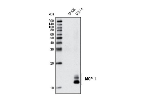 Western blot analysis of extracts from HeLa cells, mock transfected or transfected with human MCP-1, using MCP-1 Antibody.