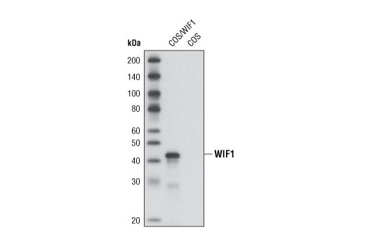 Polyclonal Antibody Regulation of Fat Cell Differentiation - count 20