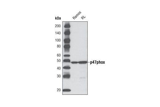 Western blot analysis of extracts from Ramos and RL cells using p47phox (D21F6) Rabbit mAb.