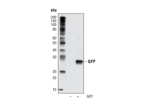 Monoclonal Antibody - GFP (D5.1) XP® Rabbit mAb (HRP Conjugate) - 100 µl #2037 - Related Products
