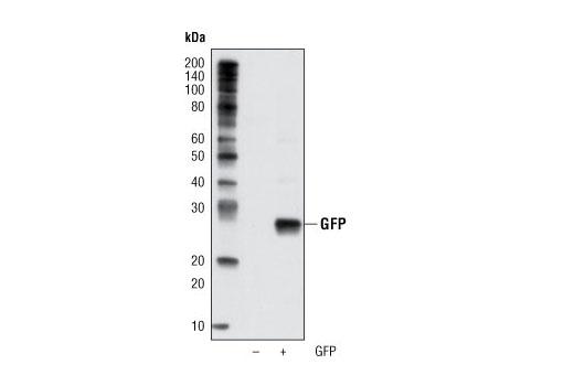 Monoclonal Antibody - GFP (D5.1) XP® Rabbit mAb (HRP Conjugate) - 100 µl #2037, Companion Products