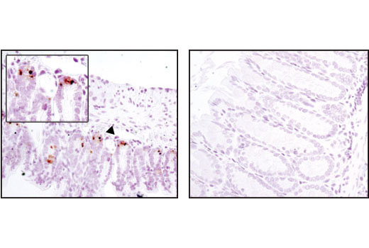 Immunohistochemical analysis of paraffin-embedded mouse small intestine (positive, left) and mouse colon (negative, right) using MMP-7 (D4H5) XP<sup>®</sup> Rabbit mAb.