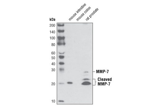 Western blot analysis of extracts mouse intestine (MMP-7 positive), mouse colon (MMP-7 negative) and rat prostate (MMP-7 positive) tissues using MMP-7 (D4H5) XP<sup>®</sup> Rabbit mAb.
