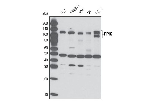 Polyclonal Antibody - PPIG Antibody - Western Blotting, UniProt ID Q13427, Entrez ID 9360 #3803, Protein Translation