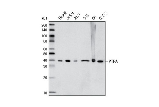 Western blot analysis of extracts from various cell lines using PTPA/PPP2R4 Antibody.