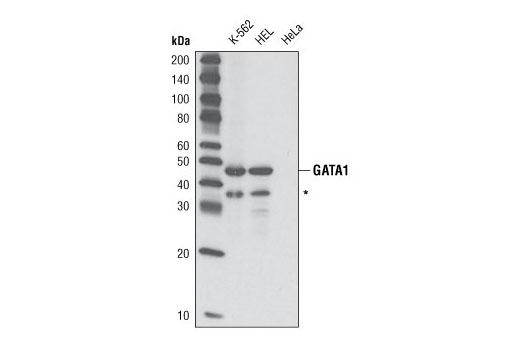 Western blot analysis of lysates from K-562, HEL and HeLa cells using GATA-1 (D24E4) XP<sup>®</sup> Rabbit mAb. * putative GATA-1 fragment.