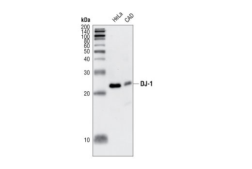 Western blot analysis of extracts from HeLa and CAD cells, using DJ-1 Antibody.