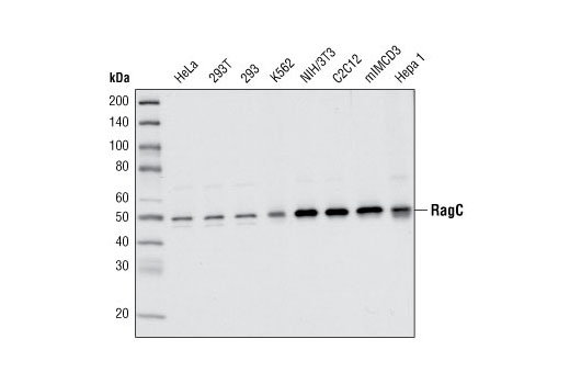 Western blot analysis of extracts from various cell types using RagC Antibody.