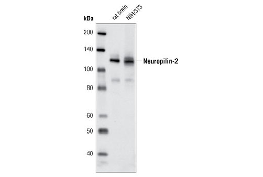 Monoclonal Antibody - Neuropilin-2 (D39A5) XP® Rabbit mAb, UniProt ID O60462, Entrez ID 8828 #3366 - Primary Antibodies
