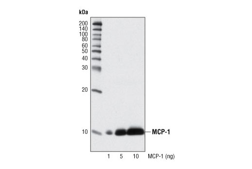 Western blot analysis of recombinant mouse MCP-1 protein using MCP-1 Antibody (Mouse Specific).