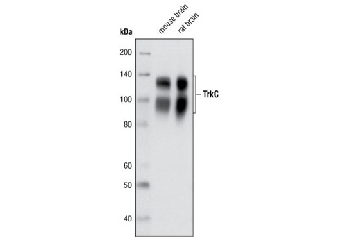 Western blot analysis of extracts from mouse and rat brain using TrkC (C44H5) Rabbit mAb.