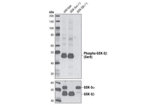 Western blot analysis of extracts from PDGF-treated wild-type, GSK-3-alpha (-/-) and GSK-3-beta (-/-) mouse embryonic fibroblasts (MEFs) using Phospho-GSK-3-beta (Ser9) (D3A4) Rabbit mAb (upper) and GSK-3-alpha/beta Antibody (lower). (MEF wild-type, GSK-3-alpha (-/-) and GSK-3-beta (-/-) cells were kindly provided by Dr. Jim Woodgett, University of Toronto, Canada).