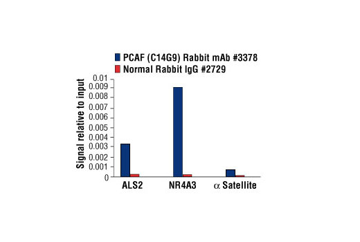 Chromatin immunoprecipitations were performed with cross-linked chromatin from 293 cells treated with Forskolin #3828 (30 µM) and either PCAF (C14G9) Rabbit mAb or Normal Rabbit IgG #2729 using SimpleChIP<sup>®</sup> Enzymatic Chromatin IP Kit (Magnetic Beads) #9003. The enriched DNA was quantified by real-time PCR using human ALS2 exon 1 primers, SimpleChIP<sup>®</sup> Human NR4A3 Promoter Primers #4829, and SimpleChIP<sup>®</sup> Human α Satellite Repeat Primers #4486. The amount of immunoprecipitated DNA in each sample is represented as signal relative to the total amount of input chromatin, which is equivalent to one.