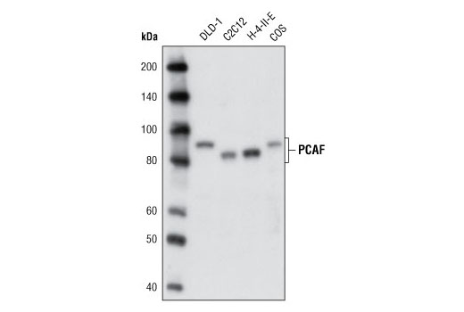 Western blot analysis of extracts from various cell lines using PCAF (C14G9) Rabbit mAb.