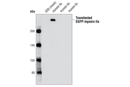 Western blot analysis of extracts from COS cells, mock transfected or transfected with nonmuscle EGFP-myosin IIa, IIb or IIc, using Myosin IIa Antibody.