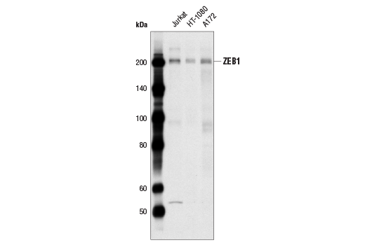 Western blot analysis of extracts from Jurkat, HT1080 and A172 cells using TCF8/ZEB1 (D80D3) Rabbit mAb.