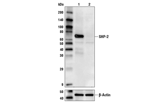 Western blot analysis of HEK293T Cell Extracts, untreated (-) or SHP-2 knock-out (+) using SHP-2 (D50F2) Rabbit mAb #3397 (upper) or β-Actin (D6A8) Rabbit mAb #8457 (lower).