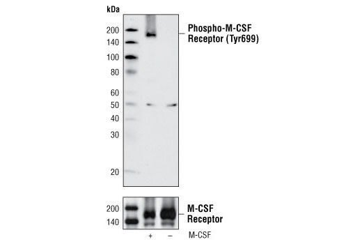 Western blot analysis of extracts from FDCP1/fms cells, untreated or M-CSF treated, using Phospho-M-CSF Receptor (Tyr699) Antibody (upper) or M-CSF Receptor Antibody #3152 (lower).