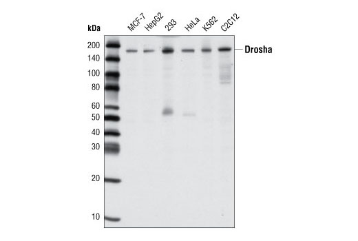 Western blot analysis of extracts from various cell types using Drosha (D30F3) Rabbit mAb.