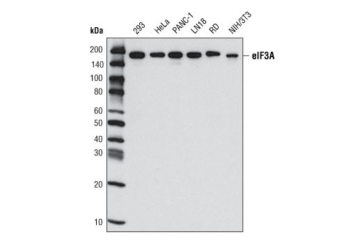 Western blot analysis of extracts from various cell types using eIF3A (D51F4) XP<sup>®</sup> Rabbit mAb.