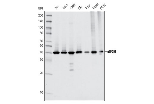 Western blot analysis of extracts from various cell types using eIF3H (D9C1) XP<sup>®</sup> Rabbit mAb.