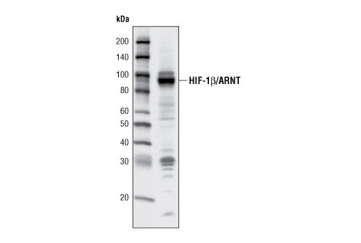 Western blot analysis of extracts from HepG2 cells using HIF-1β/ARNT (C15A11) Rabbit mAb.