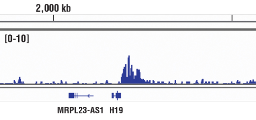 Chromatin immunoprecipitations were performed with cross-linked chromatin from Hela cells and CTCF (D31H2) XP<sup>®</sup> Rabbit mAb, using SimpleChIP<sup>®</sup> Enzymatic Chromatin IP Kit (Magnetic Beads) #9003. DNA Libraries were prepared using SimpleChIP<sup>®</sup> ChIP-seq DNA Library Prep Kit for Illumina<sup>®</sup> #56795. The figure shows binding across H19, a known target gene of CTCF (see additional figure containing ChIP-qPCR data). For additional ChIP-seq tracks, please download the product data sheet.