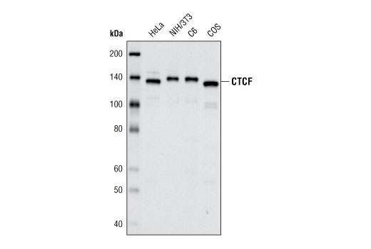 Western blot analysis of extracts from various cell lines using CTCF (D31H2) XP<sup>®</sup> Rabbit mAb.