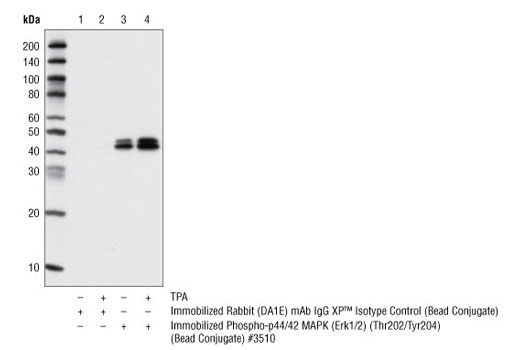 Monoclonal Antibody - Rabbit (DA1E) mAb IgG XP® Isotype Control (Sepharose® Bead Conjugate) - 400 µl #3423 - Related Products