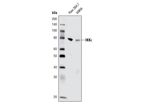 Western blot analysis of extracts from Raw 264.7 and KNRK cell lines using IKKε (D61F9) XP<sup>®</sup> Rabbit mAb.