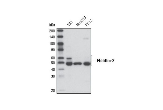 Western blot analysis of extracts from various cell lines using Flotillin-2 (C42A3) Rabbit mAb.