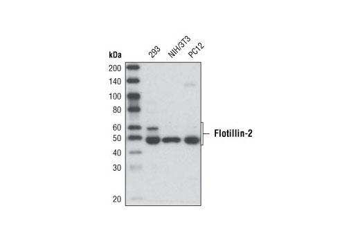 Monoclonal Antibody - Flotillin-2 (C42A3) Rabbit mAb - Immunoprecipitation, Western Blotting, UniProt ID Q14254, Entrez ID 2319 #3436 - Cytoskeletal Signaling